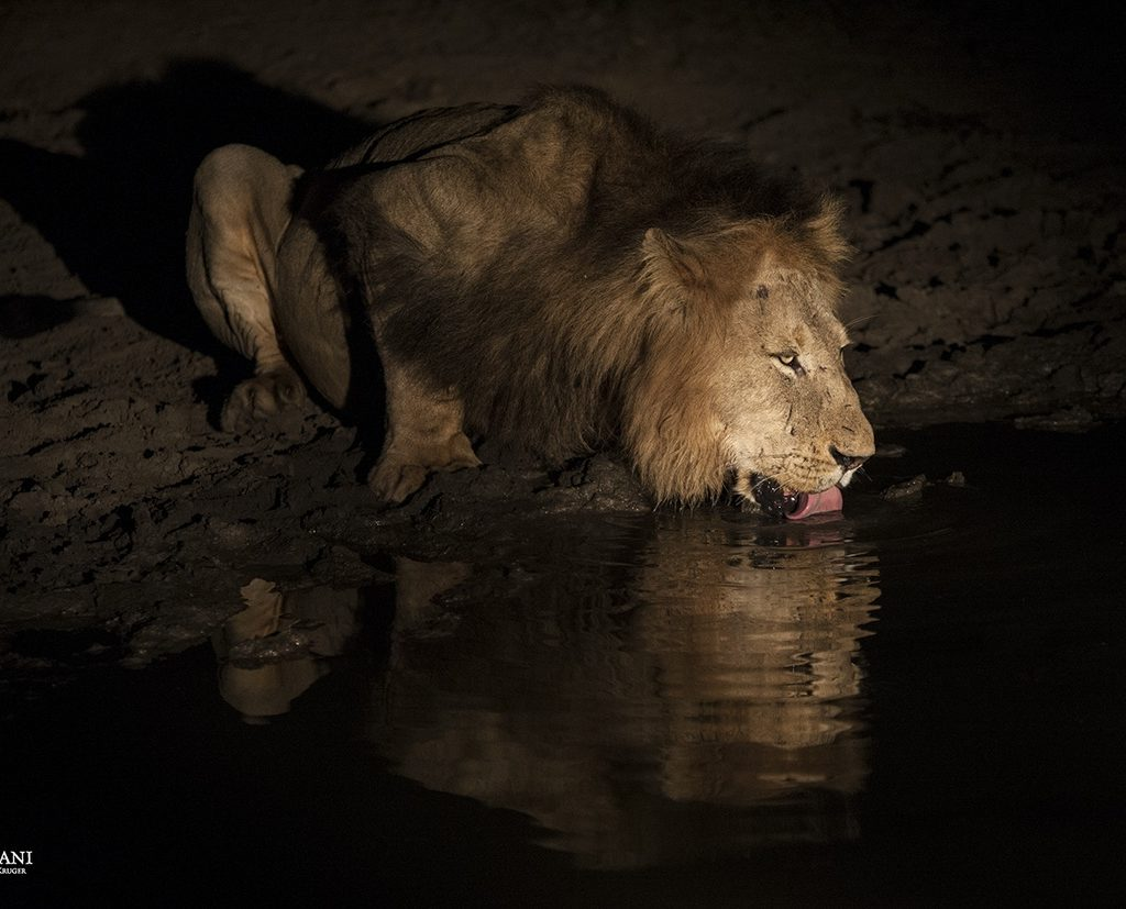 The Big Male's Reflection Sits In The Water That He Is Drinking From