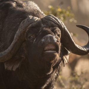 This Male Buffalo Is Showing The Flehmen Response After Testing The Urine Of A Female To See If She Is Ready For Mating