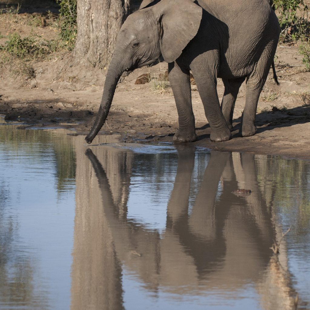 A Young Elephant Quenches Its Thirst At A Small Waterhole