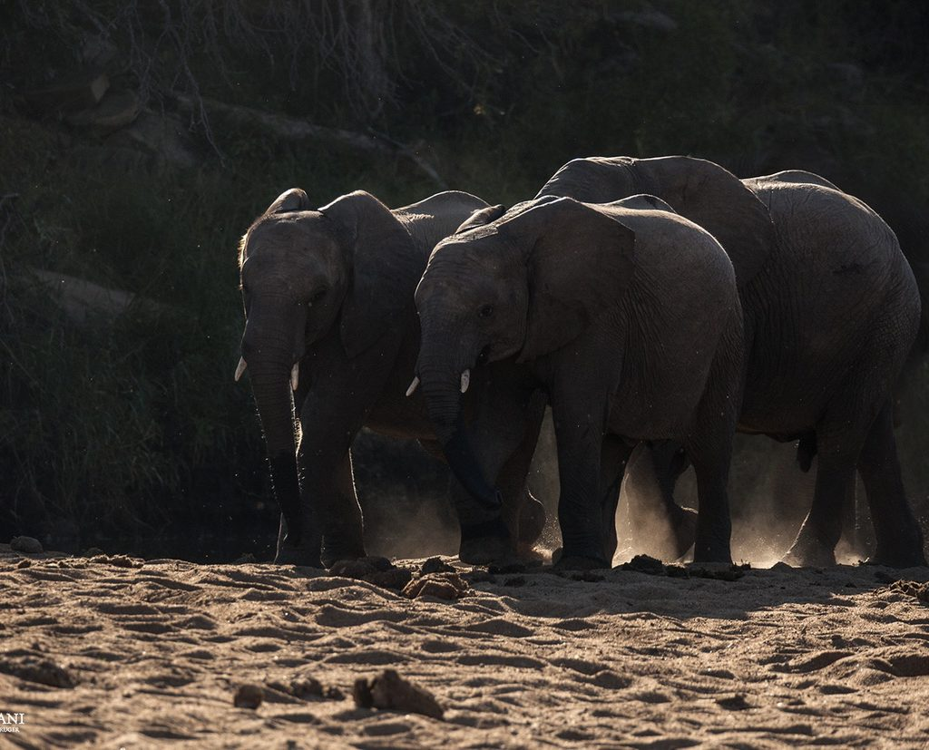 A Small Herd Of Elephants Moves Through One Of The Dry Riverbeds