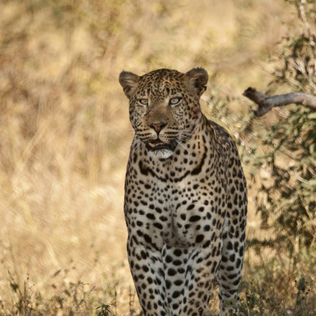 The Mazinyo Male Out On The Hunt
