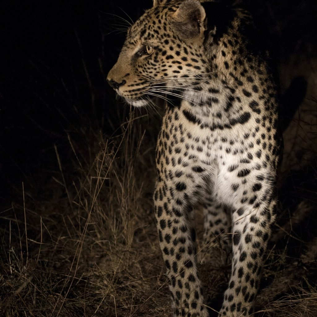 Nthombi Stalking, In Search Of A Meal