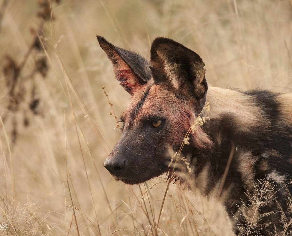 This Dog Picked Up On An Approaching Hyena