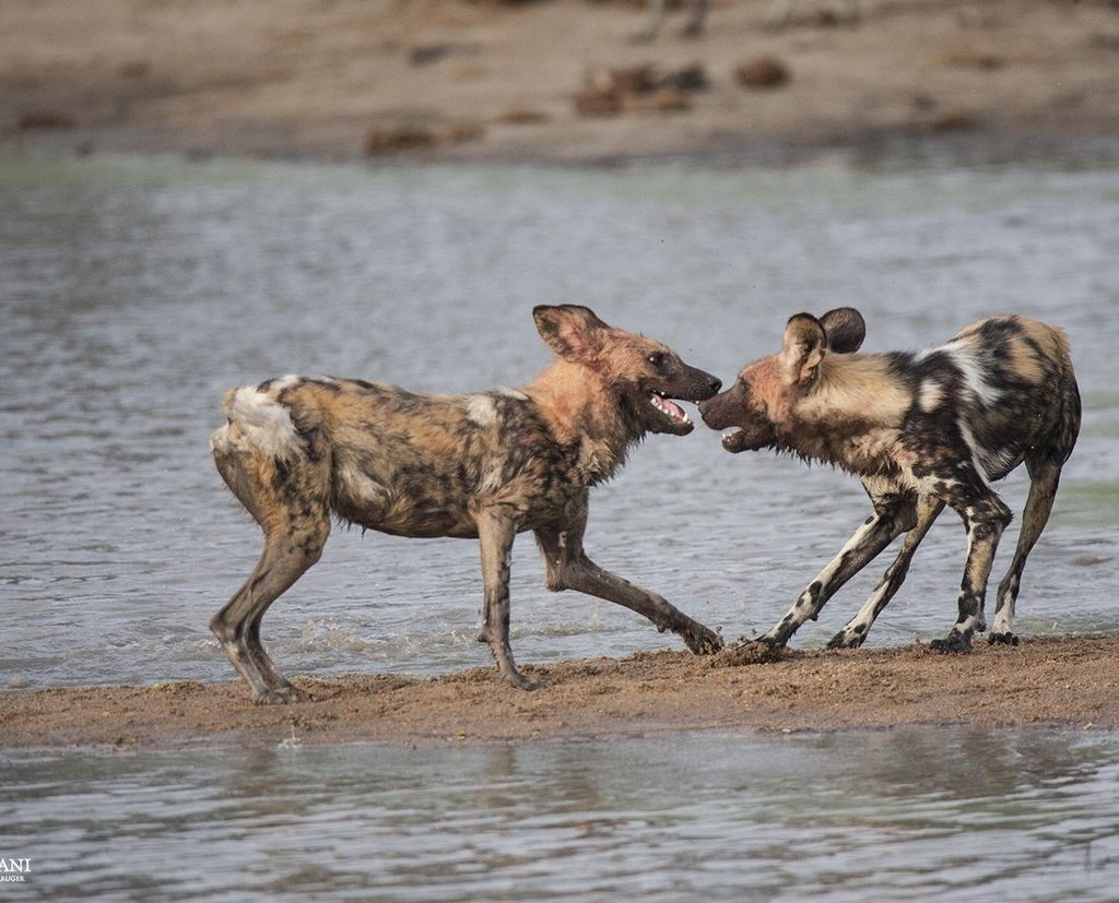 Two Of The Wild Dogs Interacting With One Another