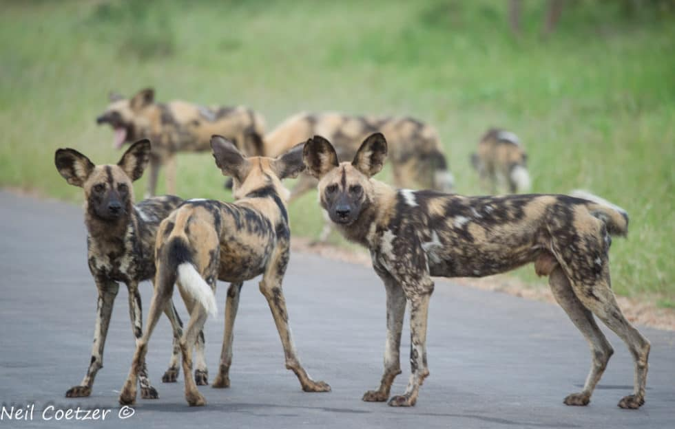 Interesting Facts About African Wild Dogs