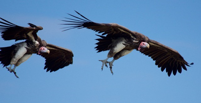 Timbavati & EWT Vulture Conservation & Research Gets Off The Ground