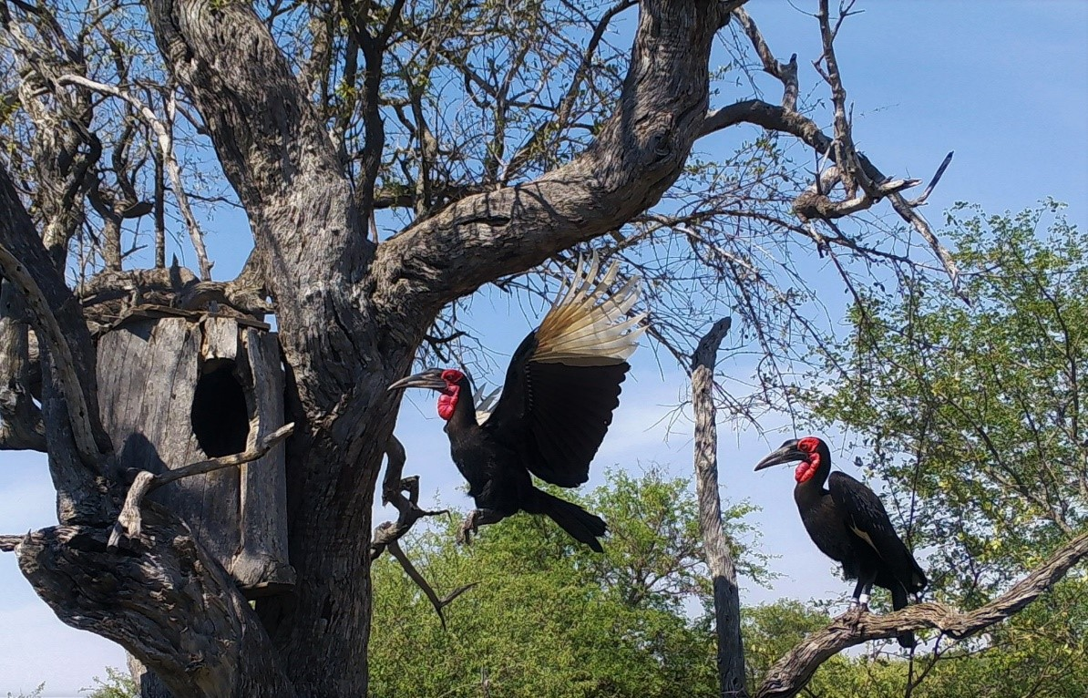 Guest Blog: The Booming Call Of Ground Hornbills. What Are They Saying?