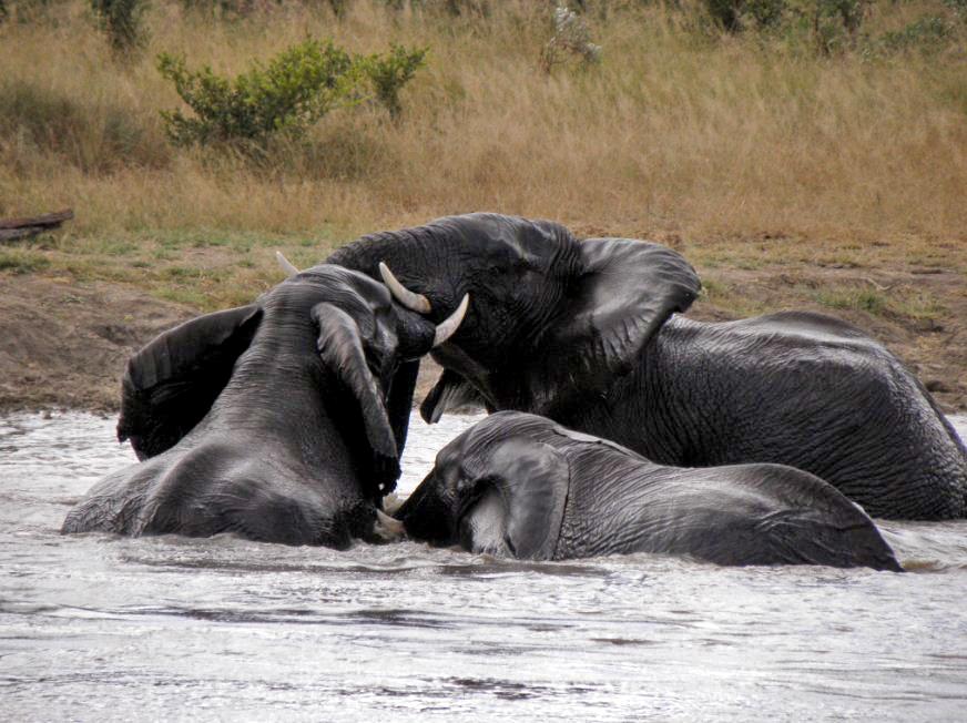 Shindzela-elephant-swimmin