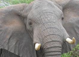 elephants_lo